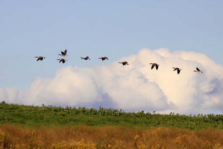 canada goose: Canadian Geese flying in golden evening sunlight at Middle Creek Wildlife Management Area, Lancaster County, Pennsylvania. Stock Photo