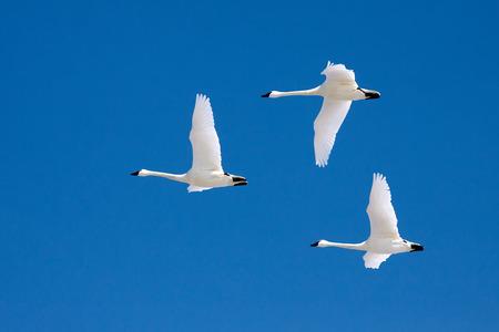 bandada pajaros: Tundra cisnes volando en un cielo azul de invierno claro. Foto de archivo