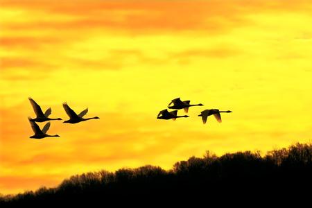 A flock of Tundra Swans take flight into a beautiful winter sunrise.