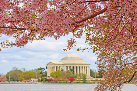 Pink cherry blossoms framing the Jefferson Memorial in Washington DC during the Cherry Festival.