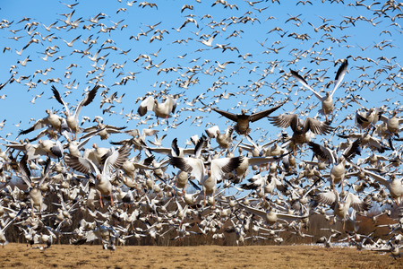 migrating: Thousands of migrating Snow Geese ( Chen caerulescens ) fly from a field in Lancaster County, Pennsylvania, USA.