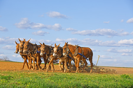 harrow: A team of mules pull a soil roller and a spring-tooth harrow on an Amish farm in Lancaster County, Pennsylvania.