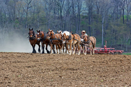 harrow: A team of horses and mules pull a springtooth harrow with soil rollers on an Amish farm in Lancaster County Pennsylvania. Stock Photo