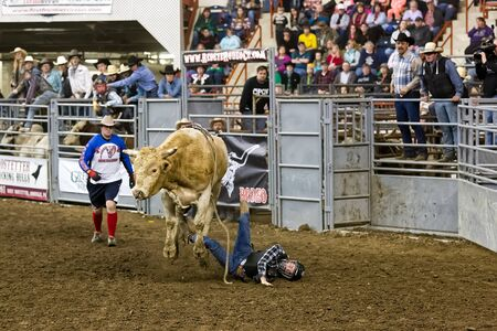 bucking bull: HARRISBURG, PENNSYLVANIA - JANUARY 09, 2016: An unidentified rider participates in the bull riding event at the Farm Show Complex.