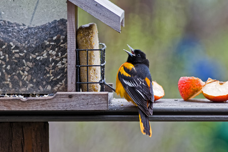 bird feeder: A male Baltimore Oriole at a feeder stocked with seeds, suet and apples.