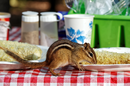 ardilla: A chipmunk eating corn ears on a campground picnic table.
