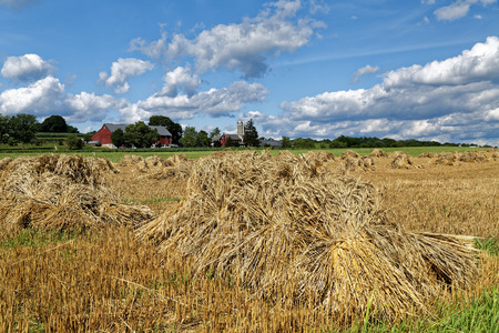 A traditional Amish wheat harvest scene. The grain is cut, tied into bundles and set up in shocks to dry. Lancaster County, Pennsylvania, USA.