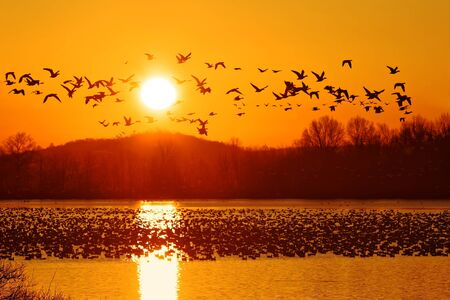 Thousands of migrating Snow Geese ( Chen caerulescens ) fly from a lake in Lancaster County, Pennsylvania, USA.