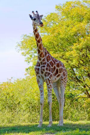 A Giraffe in natural habitat on a bright sunny day.