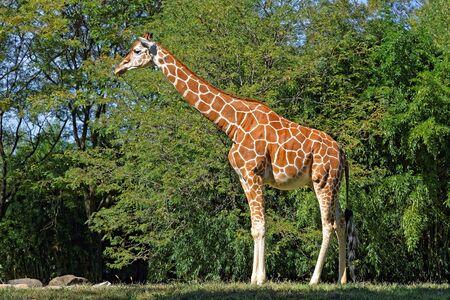 A Giraffe in natural habitat on a bright sunny day Stock Photo