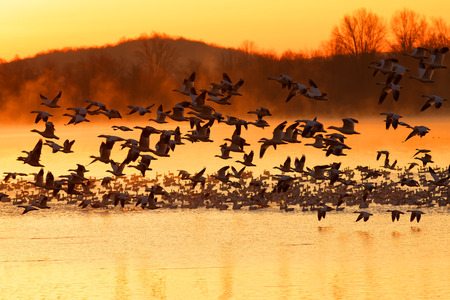 Thousands of migrating Snow Geese ( Chen caerulescens ) fly from a lake at sunrise in Lancaster County, Pennsylvania, USA. Stock Photo