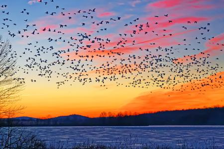 Duizenden migrerende sneeuwganzen (Chen caerulescens) vliegen over een bevroren meer bij zonsopgang in Lancaster County, Pennsylvania, VS.
