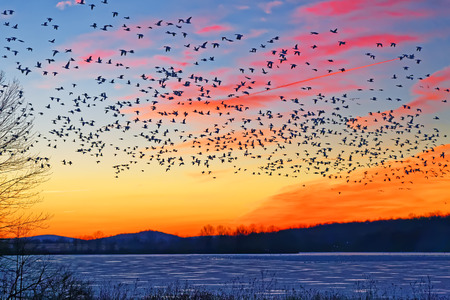 Thousands of migrating Snow Geese ( Chen caerulescens ) fly over a frozen lake at sunrise in Lancaster County, Pennsylvania, USA. Reklamní fotografie - 69923435