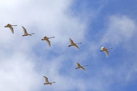 Migrating Tundra Swans ( Cygnus columbianus ) fly in V- formation after a lay over in Lancaster County, Pennsylvania, USA. This swan is similar to the Whistling Swan and Trumpeter Swan.