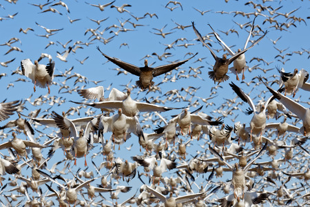 migrate: Thousands of migrating Snow Geese ( Chen caerulescens ) fly off from Lancaster County, Pennsylvania, USA.