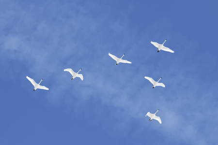 Migrating Tundra Swans ( Cygnus columbianus ) fly in V- formation after a layover in Lancaster County Pennsylvania USA. This swan is similar to the Whistling Swan and Trumpeter Swan. Stock Photo