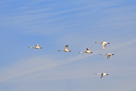 wildfowl: Migrating Tundra Swans ( Cygnus columbianus ) fly in  formation after a layover in Lancaster County Pennsylvania USA. This swan is similar to the Whistling Swan and Trumpeter Swan. Stock Photo