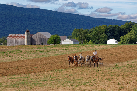 MILROY PENNSYLVANIA - September 2, 2016: A team of horses pull a spring-tooth harrow with soil rollers on an Amish farm in Mifflin County, Pennsylvania.