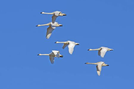 wildfowl: Tundra Swans ( Cygnus columbianus ) flying in a clear blue winter sky