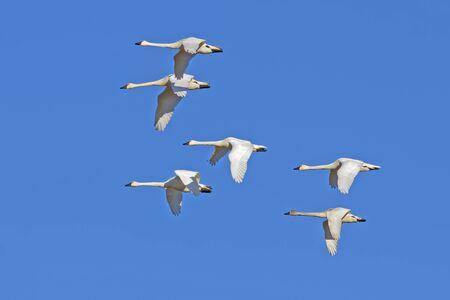 Tundra Swans ( Cygnus columbianus ) flying in a clear blue winter sky