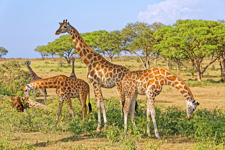 A small herd of giraffes feeding in natural habitat, Murchison Falls National Park, Uganda, Africa.