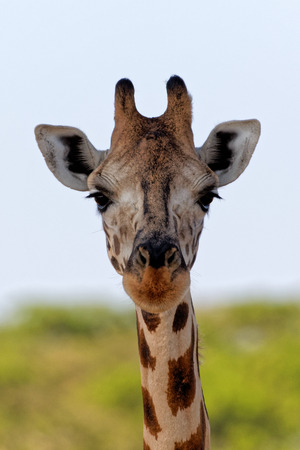 African giraffe portrait with blue sky and green yellow vegetation background.