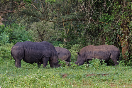 A group of White Rhinoceros (Ceratotherium simum) grazing in  natural habitat, Uganda, Africa.