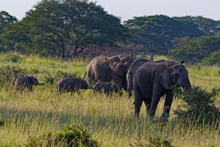 Elephants feeding in Murchison Falls National Park, Uganda, Africa.