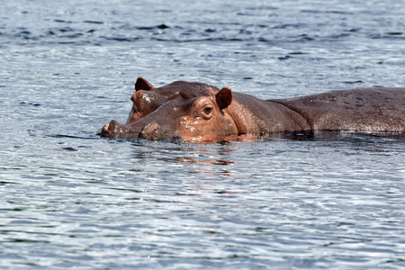 A large hippopotamus (Hippopotamus amphibius) on the Nile River at Murchison Falls National Park in Uganda, Africa.