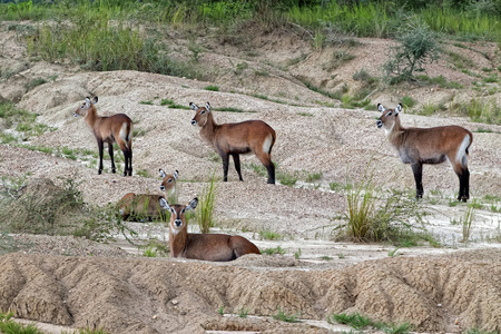 A small herd of female Waterbuck (Kobus ellipsiprymnus) at Merchinson Falls National Park in Uganda, Africa. Stock Photo