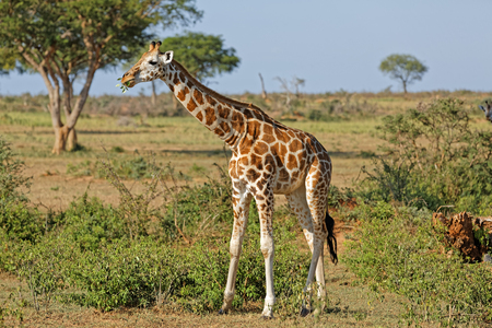 A giraffe feeding in natural habitat, Murchison Falls National Park, Uganda, Africa. Stock Photo
