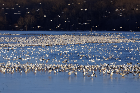Snow Geese fly into a partly frozen lake at Middle Creek Wildlife Management Area in Lancaster County, Pennsylvania. Stock Photo