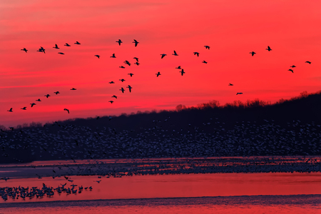 The migrating geese lay over at Middle Creek Wildlife Management Area in Lancaster County, Pennsylvania. Stock Photo