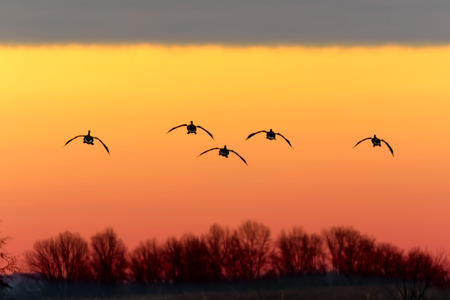 Canadian Geese fly in the sunset for a landing at  Middle Creek Wildlife Management Area in Lancaster County, Pennsylvania, USA.