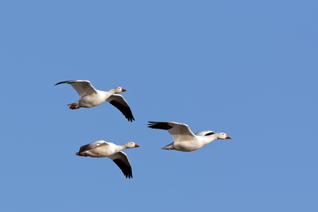 Migrating Snow Geese fly over Middle Creek Wildlife Management Area in Lancaster County, Pennsylvania. Stock Photo