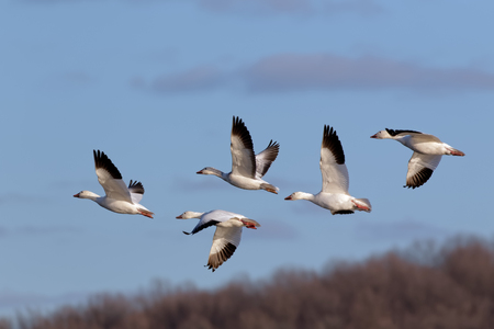 Migrating Snow Geese fly over Middle Creek Wildlife Management Area in Lancaster County, Pennsylvania. Banco de Imagens