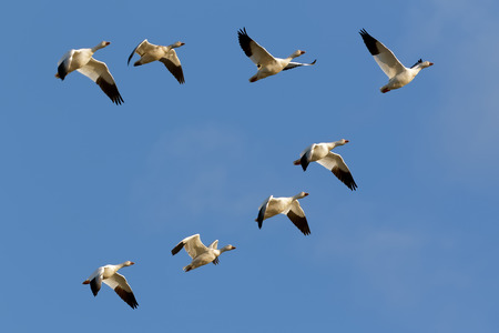 Migrating Snow Geese flying in formation over Middle Creek Wildlife Management Area in Lancaster County, Pennsylvania. Stock Photo