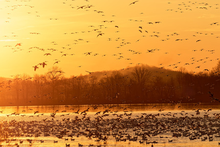 Migrating Snow Geese flying from a lake at Middle Creek Wildlife Management Area in Lancaster County, Pennsylvania. Stock Photo