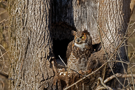 A Great Horned Owl stands watch by its nest in a hollow tree.
