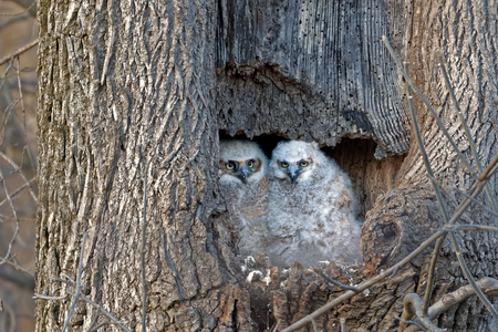Great Horned Owlets watch from their nest in a hollow tree. Stock Photo