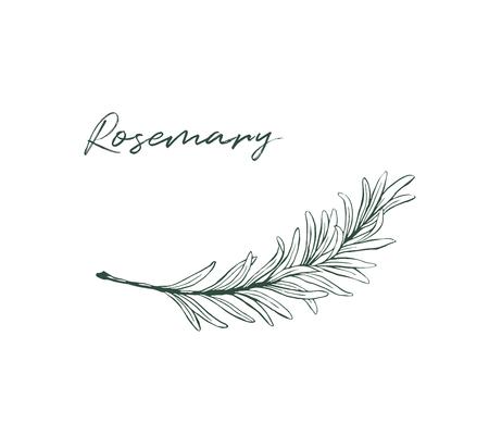Rosmarin, der isolierte Küchenkräuterskizze zeichnet Vektorgrafik