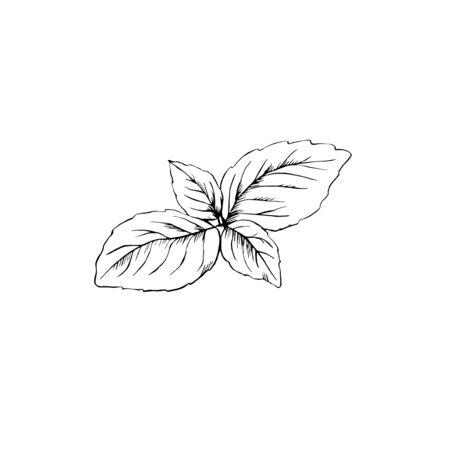 Foglie di basilico schizzo disegnato a mano inchiostro isolato