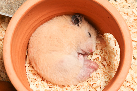 mulberry paper: adorable male orange syrian hamster is sleeping in clay house