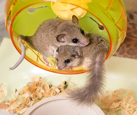 African Pygmy Dormice nestle each other on running wheel