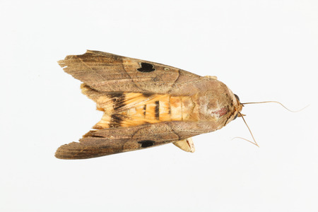 moth, brown, yellow and black spot on wing with white background