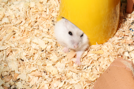 Djungarian Siberian winter Russian white dwarf hamster shows its head from yellow house