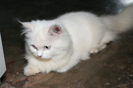 White Persian Cat Lay On The Floor Look At Left Stock Photo, Picture And  Royalty Free Image. Image 83697923.