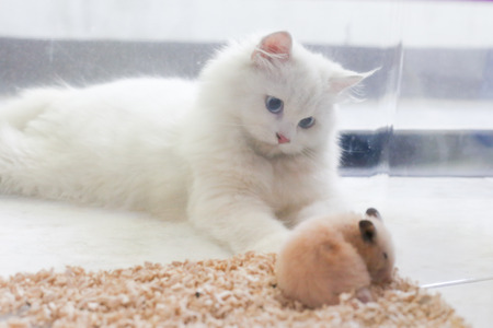 adorable white Persian cat look softly at sleeping Syrian hamster in transparent plastic cage