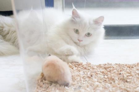De witte Perzische kat liegt spel met Syrische hamster in transparante plastic kooi