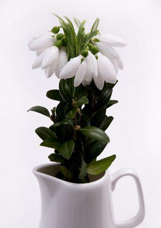 Snowdrops with dew in a decorative jug photo